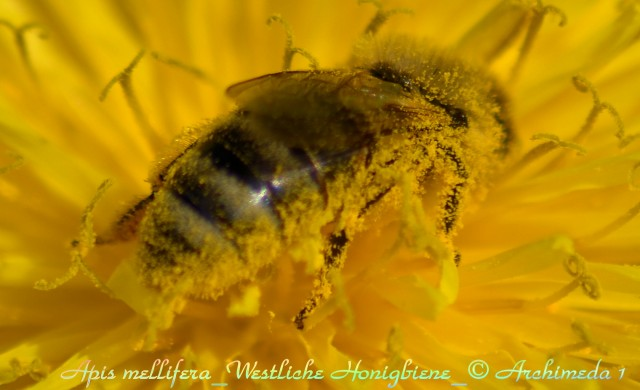 Apis mellifera_Westliche Honigbiene_©Archimeda 1