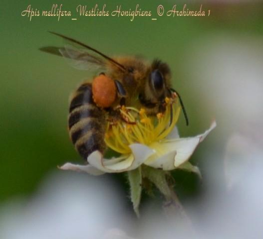 Apis mellifera_Westliche Honigbiene_© Archimeda 1