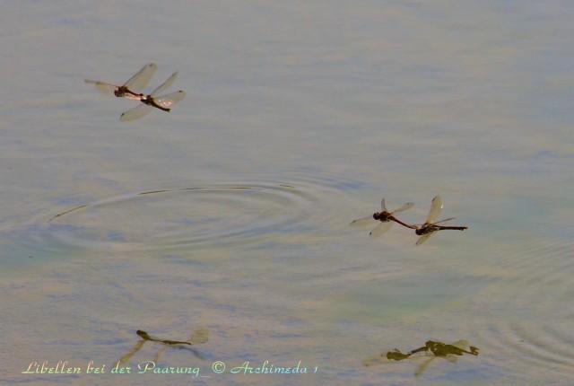 Libellen bei der Paarung_© Archimeda 1-2