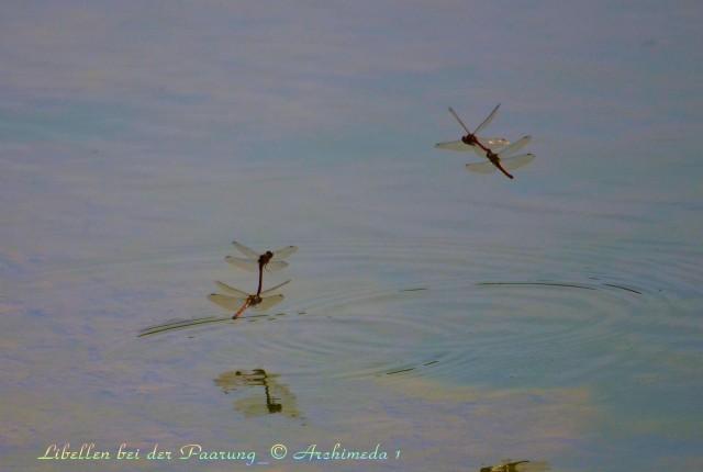 Libellen bei der Paarung_© Archimeda 1-3