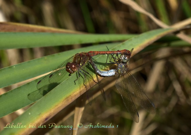 Libellen bei der Paarung_© Archimeda 1