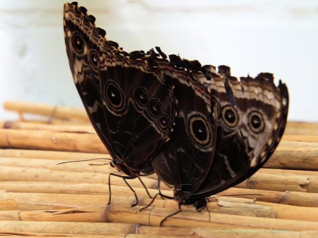 Schmetterlingspaarung_© Archimeda 1