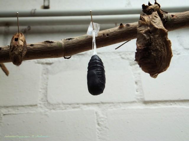 Schmetterlingspuppen_© Archimeda 1