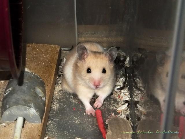 Hamster Böhnchen_© Archimeda 1-2