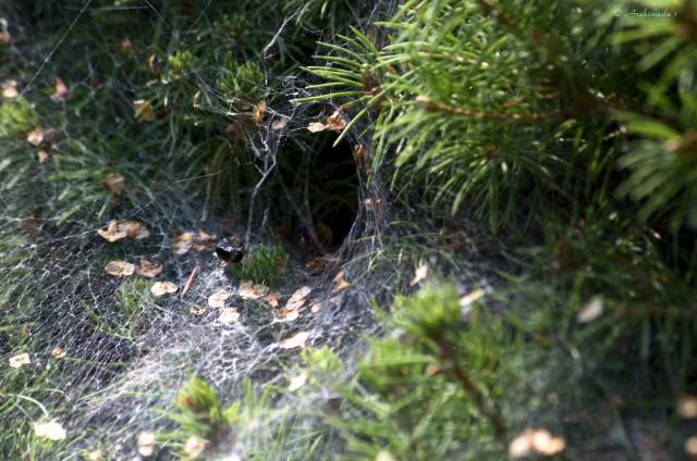 Trichternetzspinne_© Archimeda 1-2
