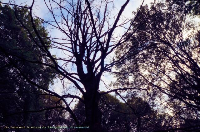 Der Baum nach Zerstörung der Schwefelporling_© Archimeda1