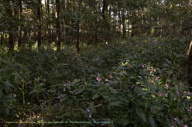 Impatiens glandulifera_Drüsige Springkraut als Walduntergrund_ © Archimeda 1