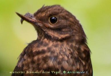 mutierter Schnabel beim Vogel_© Archimeda 1