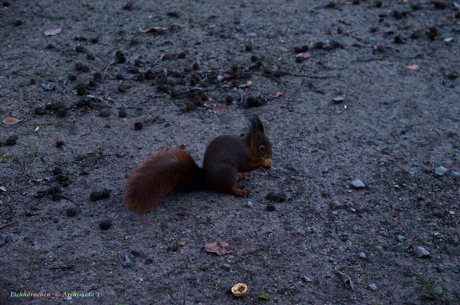 Eichhörnchen_© Archimeda 1