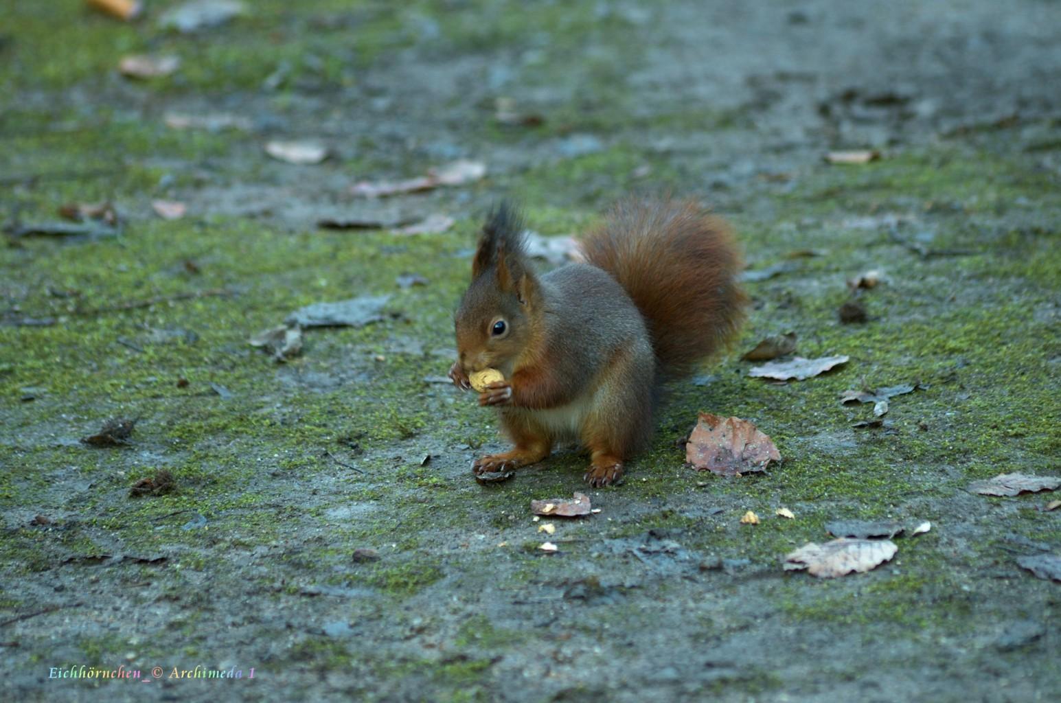 Eichhörnchen_© Archimeda 1_3