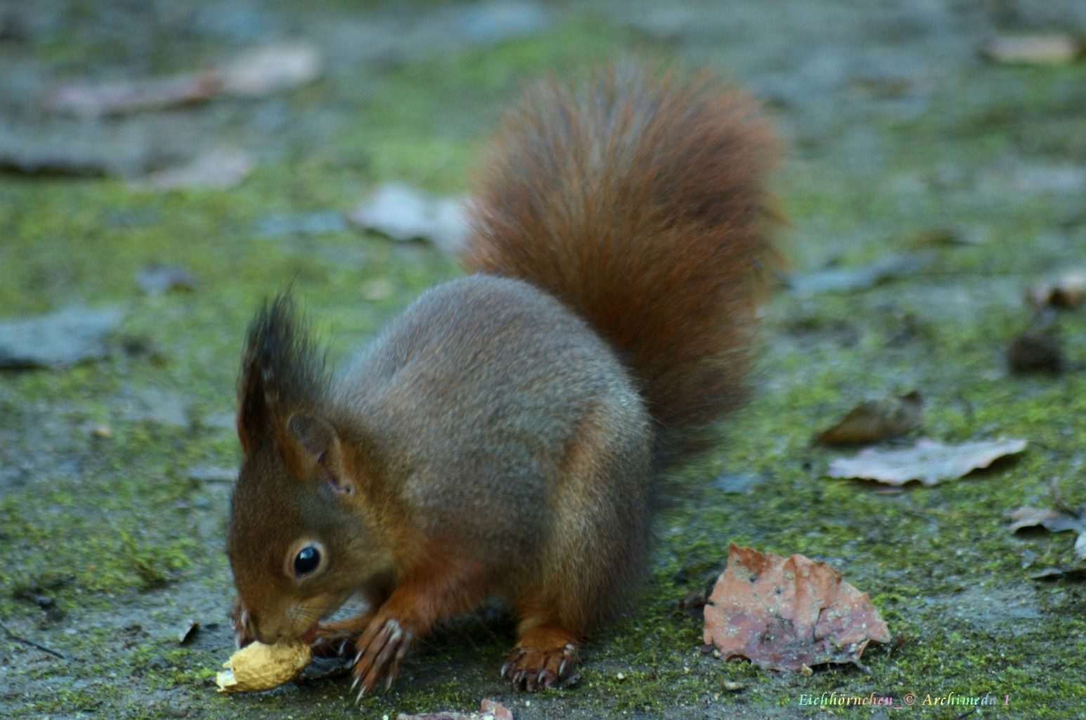 Eichhörnchen_© Archimeda 1_4