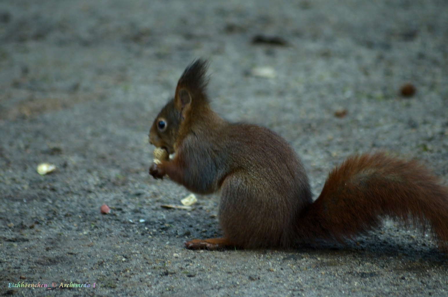 Eichhörnchen_© Archimeda 1_5