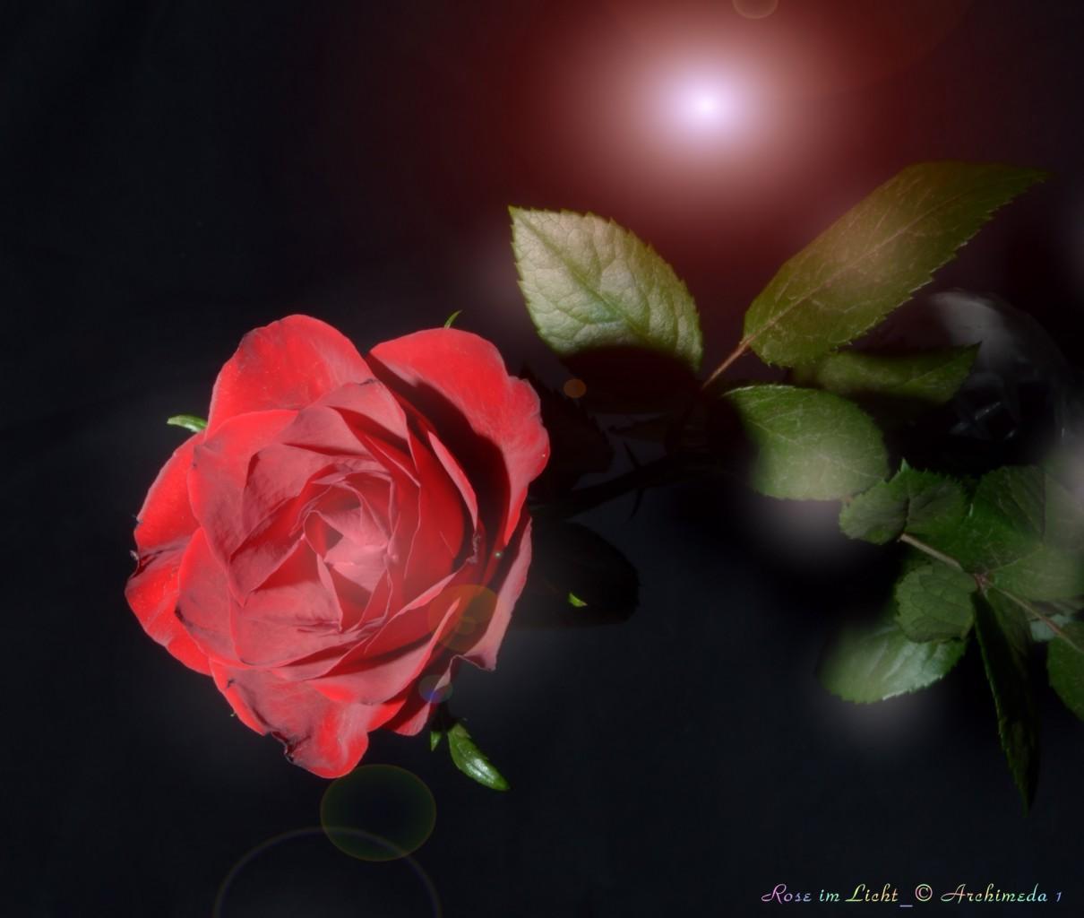 Rose im Licht_© Archimeda 1