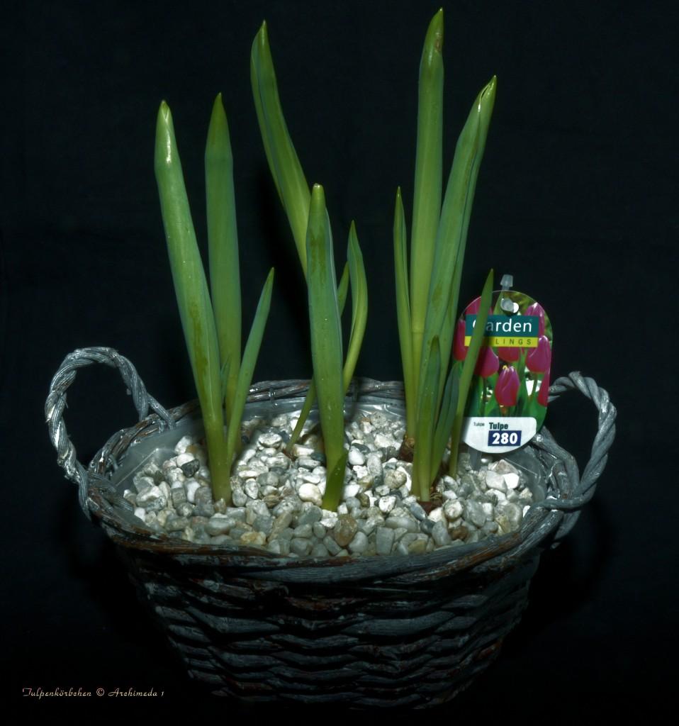 Tulpenkörbchen © Archimeda 1