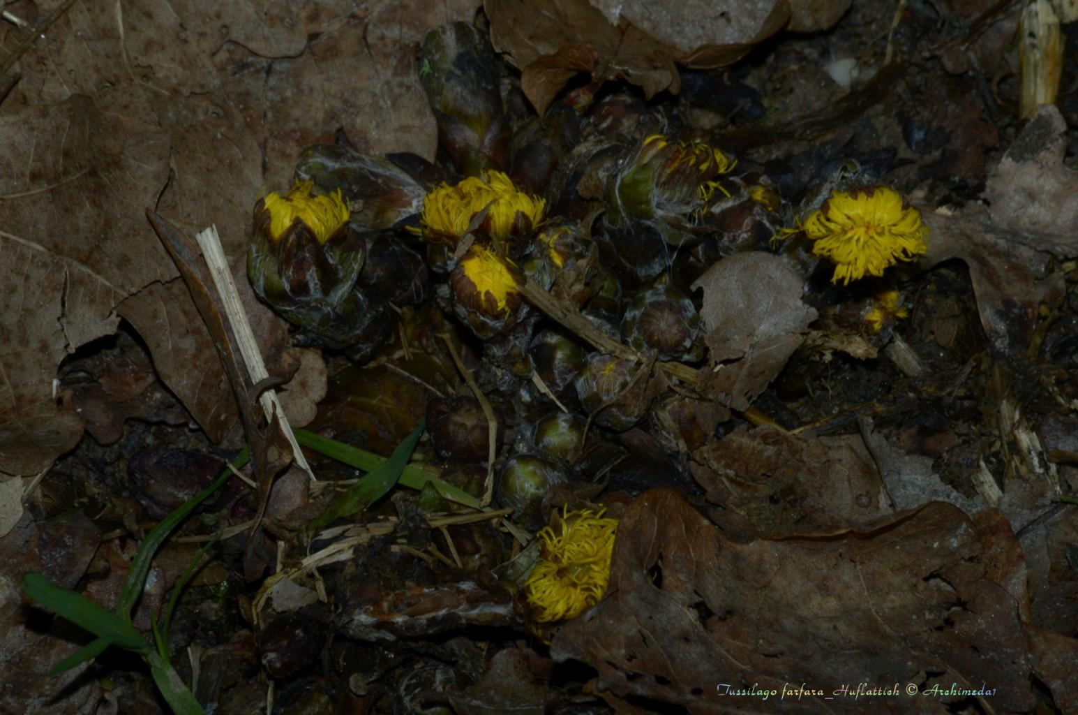 Tussilago farfara_Huflattich © Archimeda1