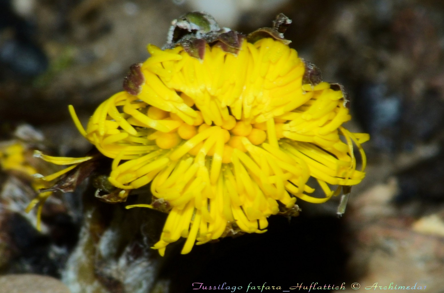 Tussilago farfara_Huflattich-Blüte © Archimeda1