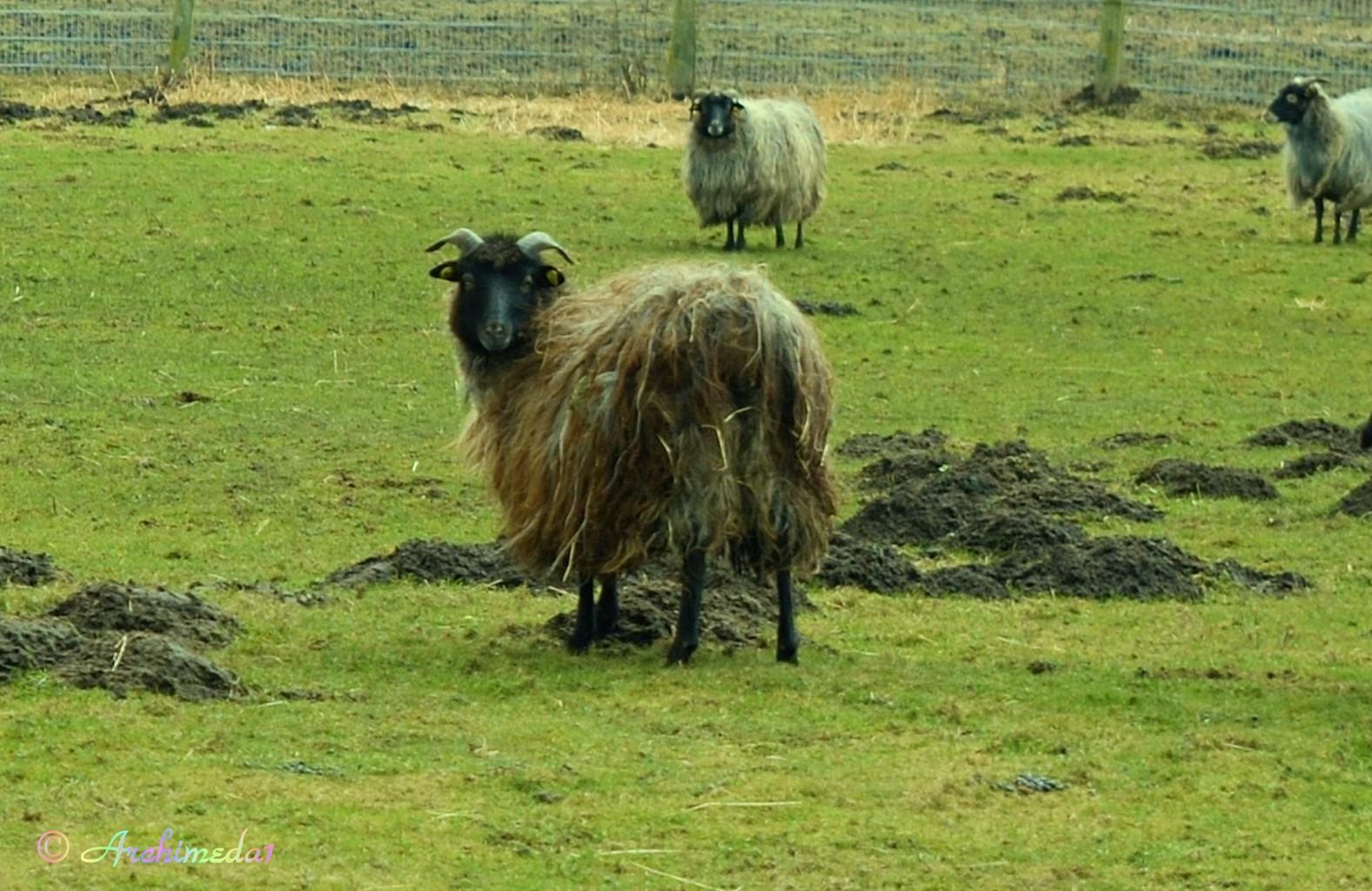 © Archimeda1_Schaf oder Ziege
