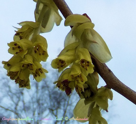 Corylopsis pauciflora_Winterscheinhasel_ © Archimeda1
