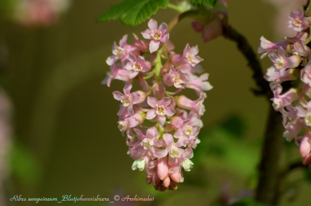 Ribes sanguineum_Blutjohannisbeere_© Archimeda1