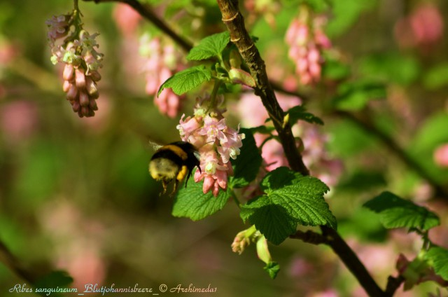 Ribes sanguineum_Blutjohannisbeere_© Archimeda1_2