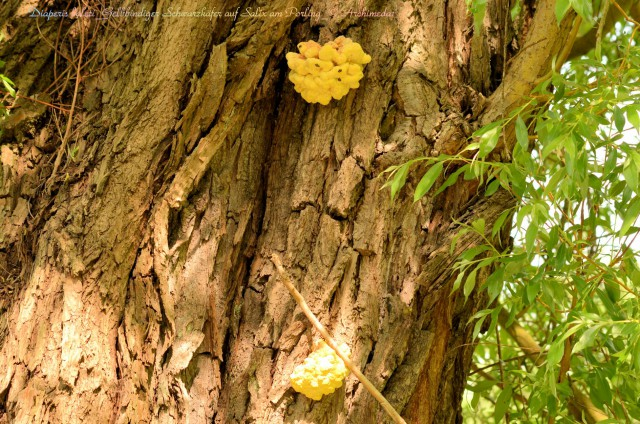 Diaperis boleti_Gelbbindiger Schwarzkäfer auf Salix am Porling_© Archimeda1