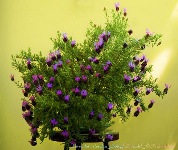 Lavandula stoechas_Schopf Lavendel_©Archimeda1