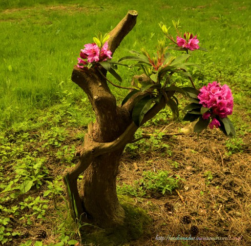 Rhododendron_©Archimeda1