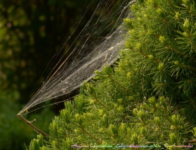 Agelena labyrinthica_Labyrinthspinnen-Netz_© Archimeda1_3