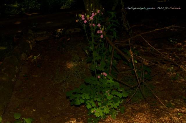 Aquilegia vulgaris_gemeine Akelei_© Archimeda1