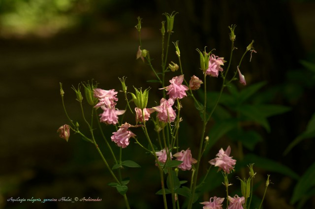 Aquilegia vulgaris_gemeine Akelei_© Archimeda1_2