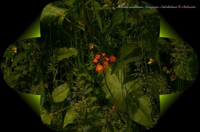 Hieracium aurantiacum_Orangerotes Habichtskraut © Archimeda1