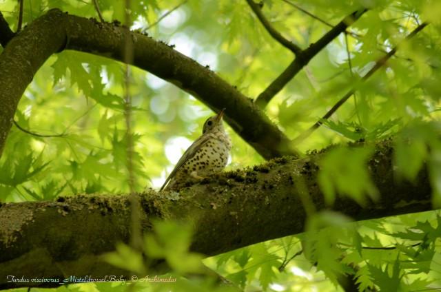 Turdus viscivorus_Misteldrossel-Baby_© Archimeda1_2