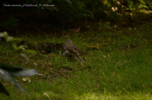 Turdus viscivorus_Misteldrossel_© Archimeda1