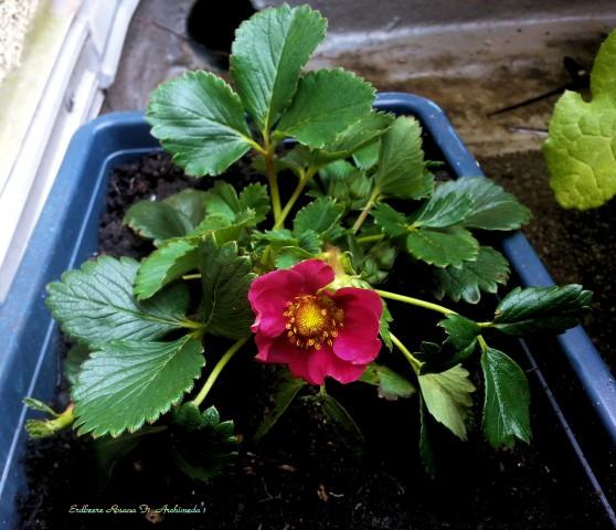 Erdbeere Rosana F1_Archimeda 1