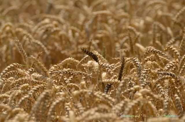 Fusarium auf Weizen_© Archimeda1