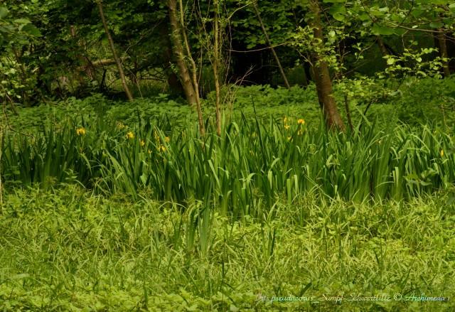 Iris pseudacorus_Sumpf-Schwertlilie © Archimeda 1