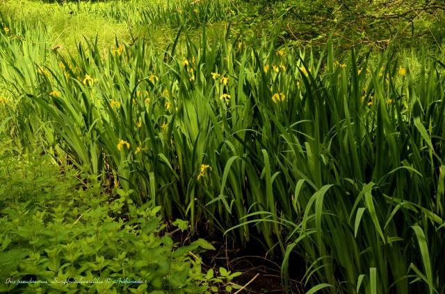 Iris pseudacorus_Sumpf-Schwertlilie © Archimeda 1_2