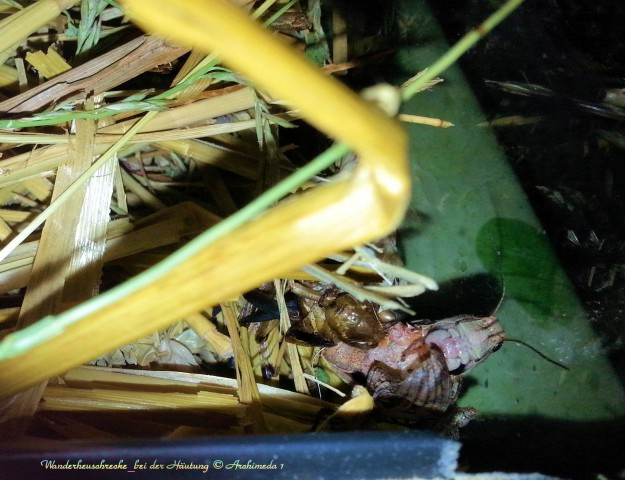 Wanderheuschrecke_bei der Häutung © Archimeda 1