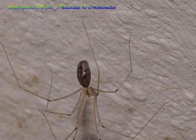 Zitterspinne-Körper_Pholcidae © Archimeda1