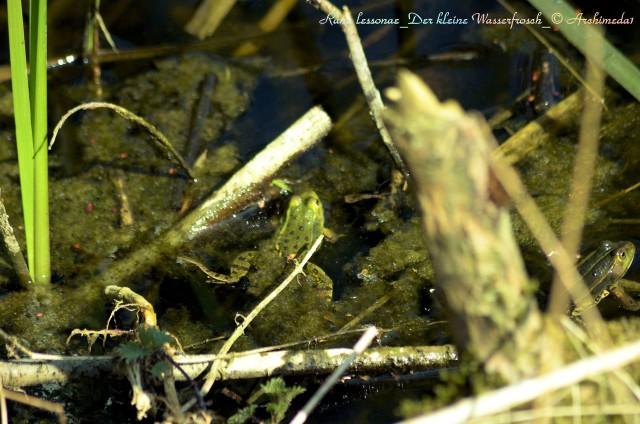 Rana lessonae_Der kleine Wasserfrosch_© Archimeda1