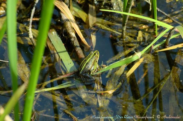 Rana lessonae_Der kleine Wasserfrosch_© Archimeda1_2