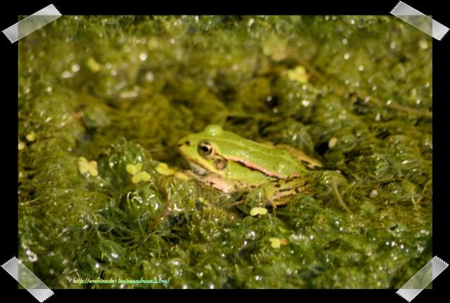 Rana lessonae_Der kleine Wasserfrosch_© Archimeda1_4