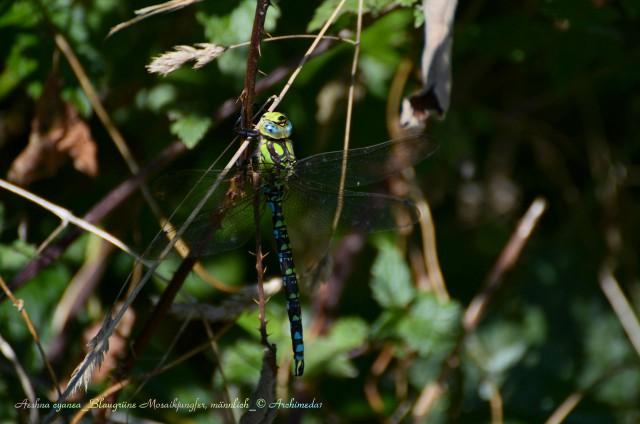 Aeshna cyanea_Blaugrüne Mosaikjungfer, männlich_© Archimeda1