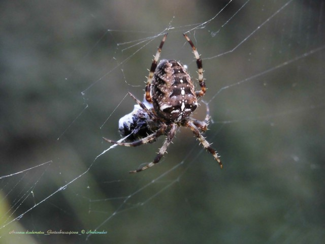 Araneus diadematus_Gartenkreuzspinne_© Archimeda1