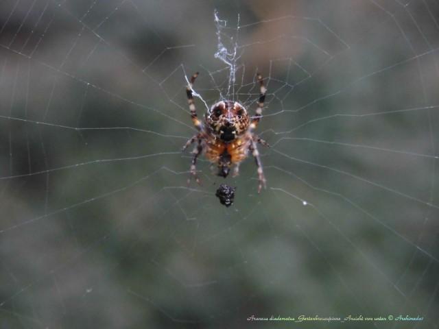 Araneus diadematus_Gartenkreuzspinne_Ansicht von unten © Archimeda1