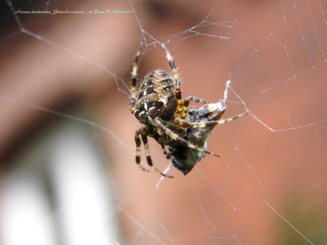 Araneus diadematus_Gartenkreuzspinne_mit Beute © Archimeda1