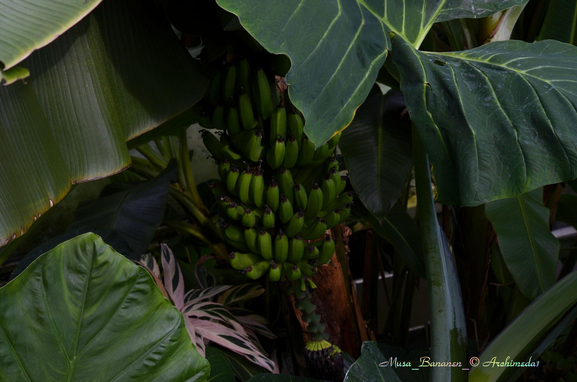 wie sieht eine bananenbl te aus ineineandrewelt auf der suche nach was ist gr n. Black Bedroom Furniture Sets. Home Design Ideas