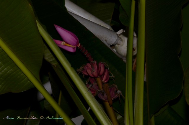 Musa_Bananenblüte_© Archimeda1