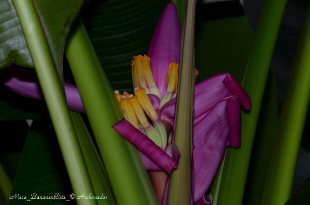 Musa_Bananenblüte_2_© Archimeda1