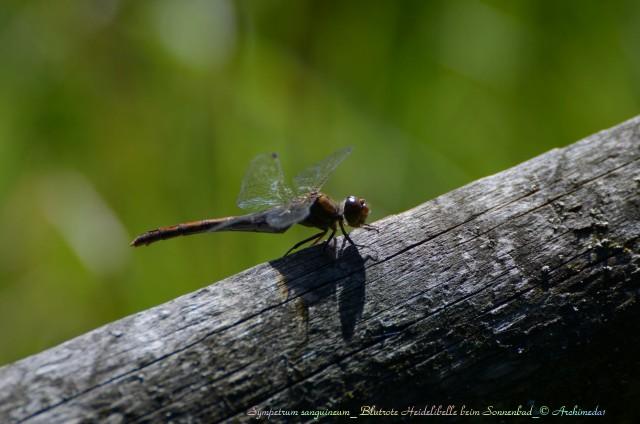 Sympetrum sanguineum_ Blutrote Heidelibelle beim Sonnenbad_© Archimeda1